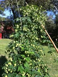 Hops For Decoration Growing Hops Part I Crooked Run Brewing