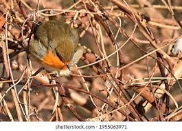 Ginger Bird Images, Stock Photos & Vectors | Shutterstock