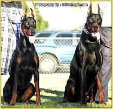 pitbull dog vs doberman. Modren Doberman King Doberman Vs KING OF DOBERMANS Pinscher Dog Breeder Throughout Pitbull 3