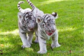 baby white tigers for sale. Delighful Sale BABY WHITE TIGERS AND LION CUBS AVAILABLE FOR SALE Throughout Baby White Tigers For Sale B