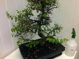 bonsai tree for office. Terrific Small Bonsai Tree On Plain Office For W