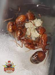 นางพญามดคันไฟสร้างรังด้... - คนเลี้ยงมด : Ant Keeping Thailand