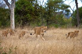 lioness and 4 cubs. Delighful Lioness Tsalala Lioness With Four Cubs Approaching The Sand River After Eating An  Impala  Rich Laburn In And 4 Cubs B