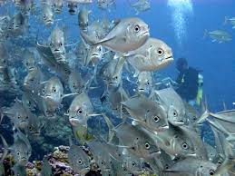 Samoan Fish Chart Noaa Pifsc Pacific Reef Assessment And Monitoring Program