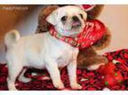 pug puppy for near houston tx usa