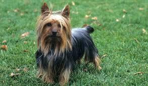 silky dog. silky terrier dog breed t