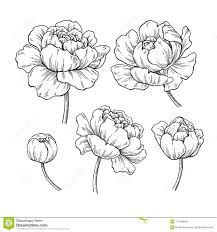 чертеж пиона ботанический комплект цветка вектора нарисованный рукой