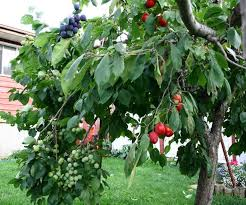 35 Best Grafting Fruit Trees Images On Pinterest  Grafting Fruit Medley Fruit Tree