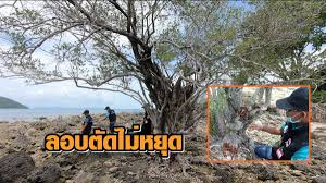 คนร้ายลักลอบตัดไม้เทียนทะเลไปขายต่อเนื่อง กรมป่าไม้จ่อกำหนดเป็นไม้หวงห้าม |  MATICHON ONLINE