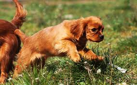 ruby cavalier king charles puppy picture