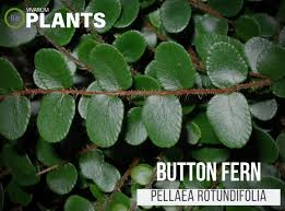 Button Fern Light Requirements