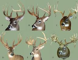 Deer Antler Age Chart Antler Growth Cycle Deer Ecology Management Lab