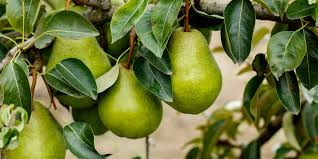 Moonglow Pear Pollination Chart Planting Dwarf Pear Trees 3 Great Trees To Fit Almost Any