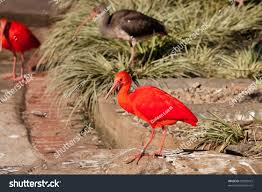scarlet ibis essay on pride in the short story ldquothe scarlet ibis rdquo the author james hurst demonstrates the use of literary elements and the importance of vital life lessons