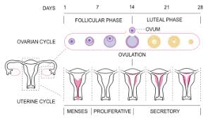 Menstrual Cycle Phases Chart Menstrual Cycle Wikipedia