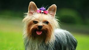 do yorkshire terriers make great pets 12 reasons to own a yorkie pethelpful