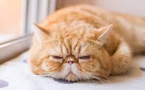 exotic shorthair orange and white. Delighful Exotic Exotic Shorthair Cat Breed For Orange And White O