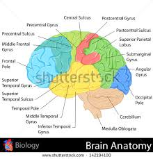 easy to edit vector illustration of brain anatomy diagram    easy to edit vector illustration of brain anatomy diagram