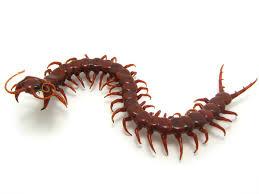 Wesley Fleming , glass sculptor - artwork, 'Centipede (the second!)'