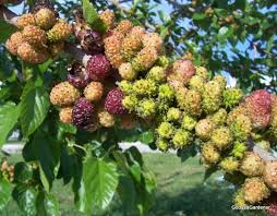 Black Beauty Mulberry Tree For Sale  Fast Growing TreesMulberry Tree No Fruit