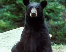 Bear Classification Chart Black Bear Ursus Americanus Animals A Z Animals