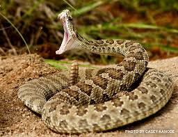 rattlesnake head striking. Unique Rattlesnake Rattlesnake Getting Ready To Bite YOU To Head Striking T