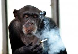 Image result for monkey gassed in car