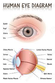 Eyelid Anatomy Human Eyelid Diagram Great Installation Of Wiring Diagram
