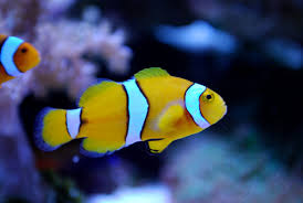 black and yellow clown fish. Unique Black Clown Fish Facts YellowPerculaClown To Black And Yellow Fish F