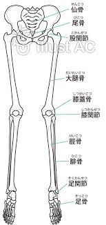 イラストacは下肢の骨の名称イラストの無料イラストアート年賀状