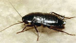 Image result for oriental cockroach