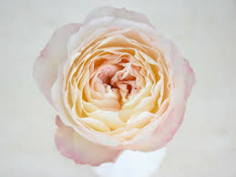 david austin wedding rose keira