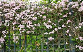 19 Best Pergola Plants  Climbing Plants For Pergolas And Arbors Climbing Plants For Fence