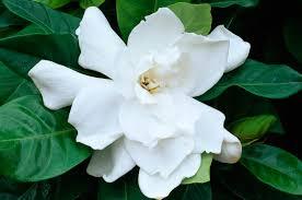 gardenia jasminoides fortuniana cape jasmine fortuniana fortuniana cape jasmine cape jessamine