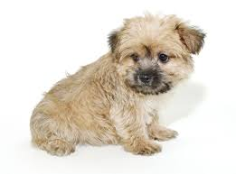 calculate what your morkie will likely weigh puppy weight worksheet