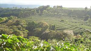 In 2006, coffee was costa rica's number three export, after being the number one cash crop export for several decades. Starbucks Buys A Farm For Coffee Research Wsj