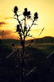 tall grass silhouette. Interesting Tall Tall Thistle Dry Grass Silhouette  Long Stalks Sunrise Meadow U2014 Stock  Photo Throughout Grass Silhouette