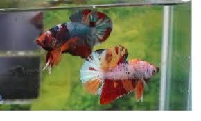 Ciri Ciri Ikan Cupang Avatar Gordon