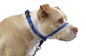 Image result for gentle leader leash on a pitbull