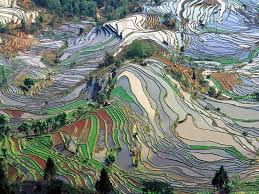 chinese rice field. Modren Rice Rice Fields Intended Chinese Field I