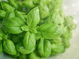 Sweet basil – The aromatic herb to keep you healthy | sweet basil|  agriculture| herbal garden| Sweet basil usage| sweet basil health benefits
