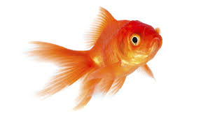 goldfish. Interesting Goldfish Observe Your Goldfish To Determine What Hypothesis You Want Test Intended Goldfish H