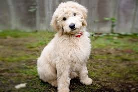 Goldendoodle Size Chart Groodle Golden Doodle Breed Info Stats Photos Videos