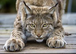 Image result for lynx cat