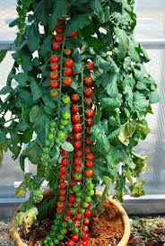 Best 25 Growing Tomatoes Ideas On Pinterest  Tomato Garden Container Garden Plans Tomatoes