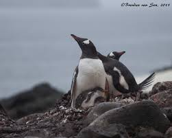 penguins a photo essay brendan s adventures  penguin chicks a penguins attachment and need to care for their young is ""