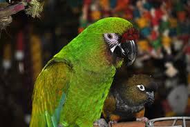 inca s secret parrot toys boarding call 253 437 1312