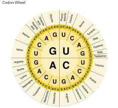 Using The Mrna Sequence You Just Created And The Codon Wheel