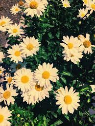 Yellow Daisy Wallpapers on WallpaperDog