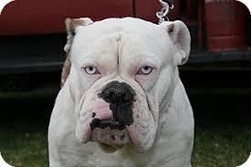van nuys ca english bulldog meet bono blue eyes a dog for adoption
